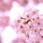 大岡川の桜 花見2015横浜南桜まつり 横浜大岡川お花見クルーズ
