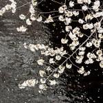 目黒川花見2015 中目黒桜まつりと目黒川お花見クルーズを紹介